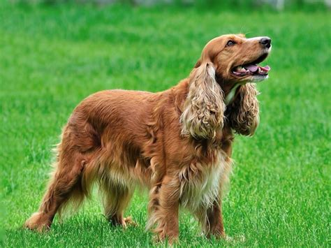 imagenes de english cocker spaniel cocker spaniel americano razas de perros