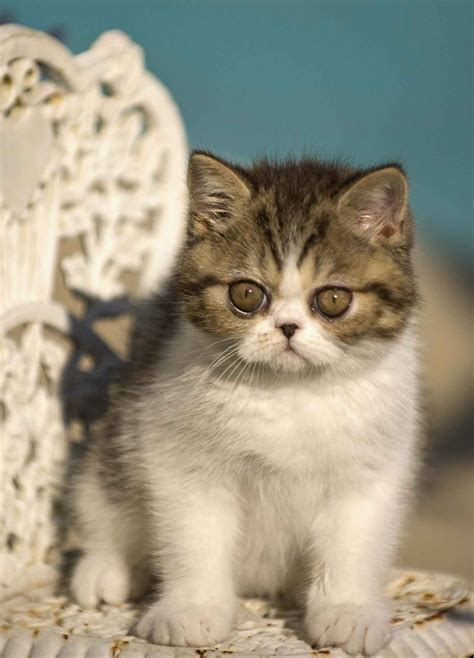 exotic shorthair pictures pics images and photos for
