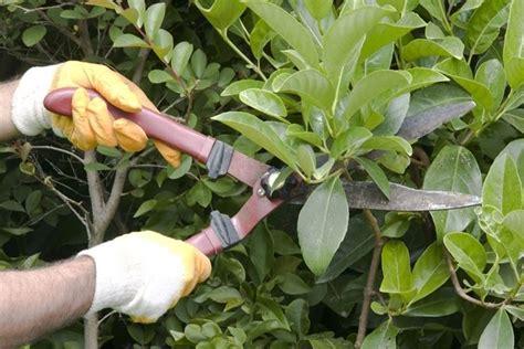 potatura fiori potatura degli arbusti da fiore tecniche di giardinaggio