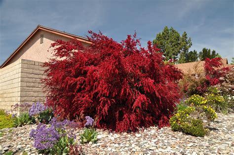 piante e arbusti da giardino arbusti eccone alcuni a foglie rosse per giardini e siepi
