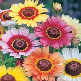 Jual Bibit Bunga Krisan Jakarta jual benih biji bunga krisan cantik chrysantemum