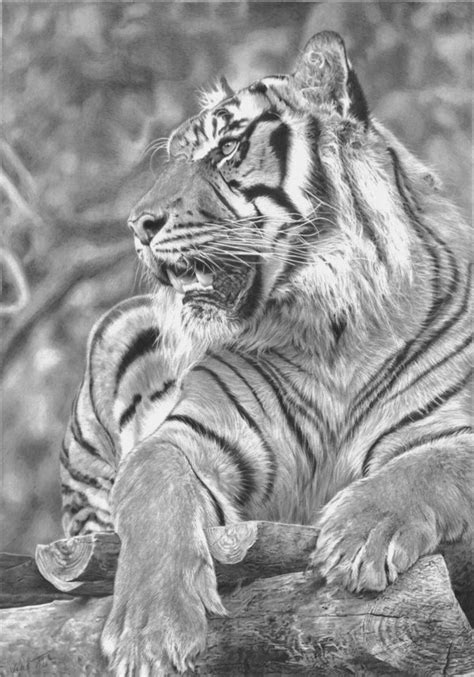 cool tiger drawings  inspiration