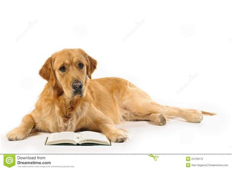 golden retriever books golden retriever read a book stock photography image 24728172