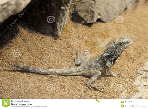 lade per fotografia lade per drago barbuto drago barbuto fotografia stock