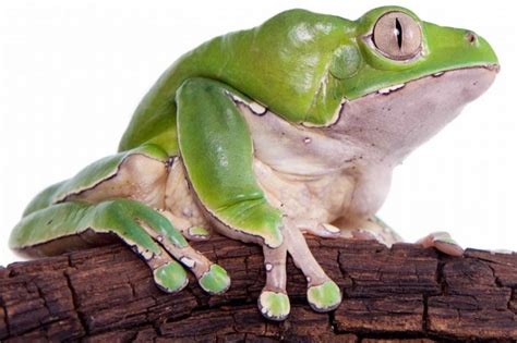 Kambo Detox by Kambo Frog Medicine Adventures In Peru Of Detox