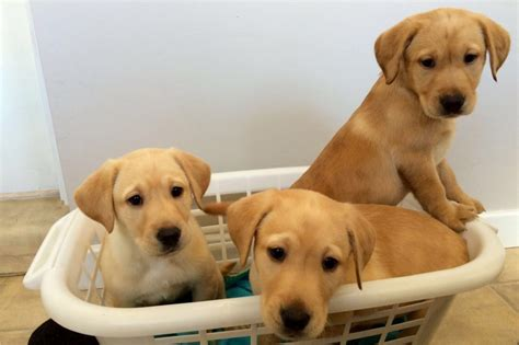 labrador dogs for sale labrador puppies for sale alnwick northumberland