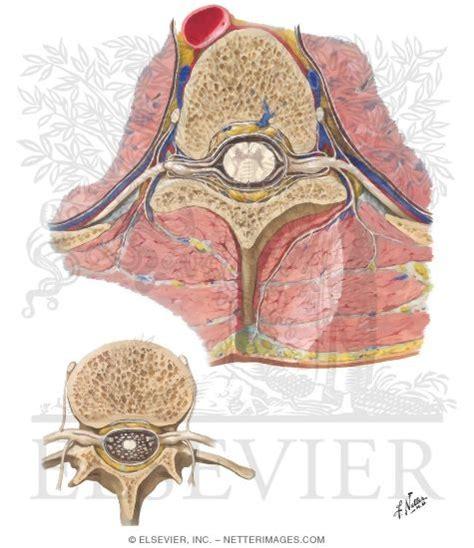 spinal nerve cross section spinal nerve origin cross sections exit of spinal nerves