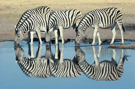 zebra pattern evolution evolution explains zebra stripes