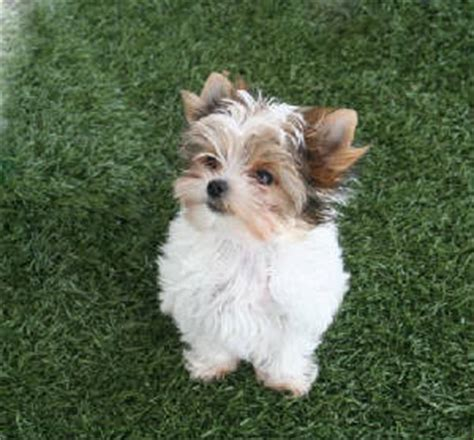 all white yorkie our yorkie guys and gals mirage yorkies