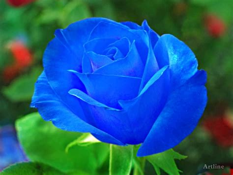 blue wallpaper pink roses natural blue roses blue rose with grreen leaves lovely