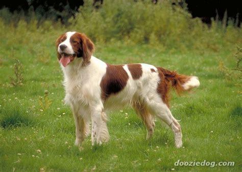 dog breeds similar to red setter red white setter jpg