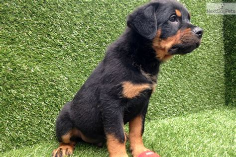 rottweiler puppies for sale in san diego rottweiler puppy for sale near san diego california ec96a5db 8151