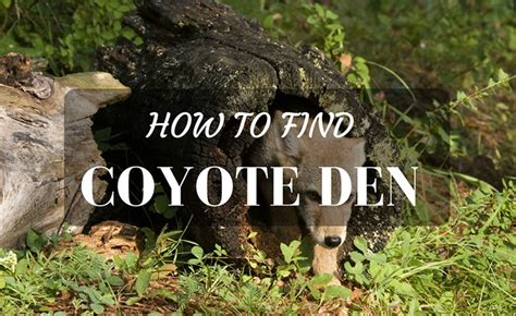 How To Find Like You How To Find Coyote Den