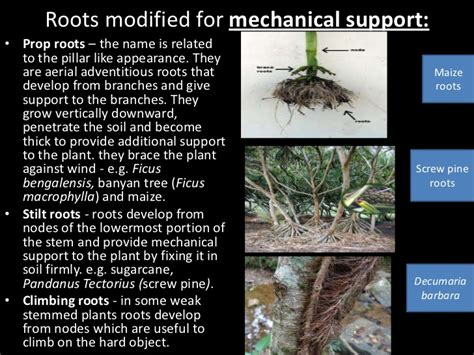 Names Of Modified Roots by Roots Of Angiosperms