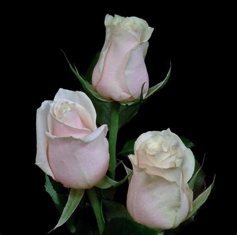imagenes de nochebuenas blancas imagenes de rosas blancas related keywords suggestions
