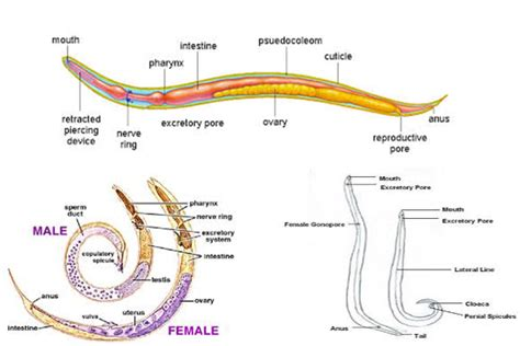 diagram of nematode phylum nematoda diagram www pixshark images