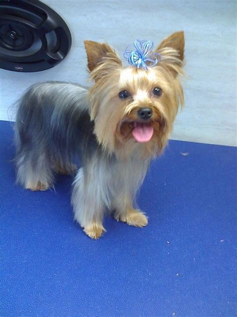 haircut for morkies yorkie designer haircut yorkie designer haircuts dog