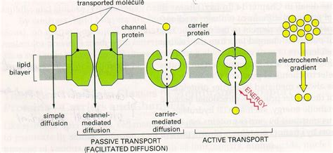 a protein channel is a transport protein that advance