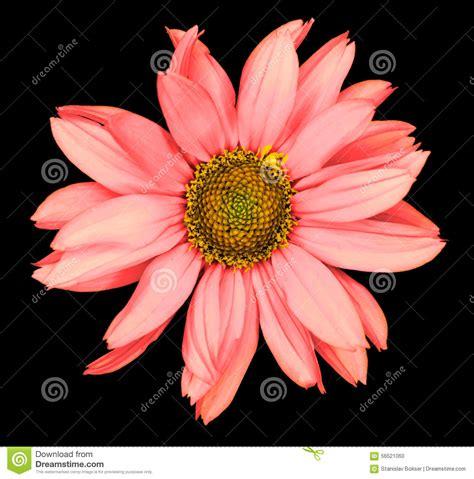 il fiore rosso il fiore rosso di un girasole decorativo helinthus ha
