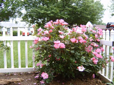 Landscape Ideas Using Knockout Roses Landscaping Ideas With Roses Pdf