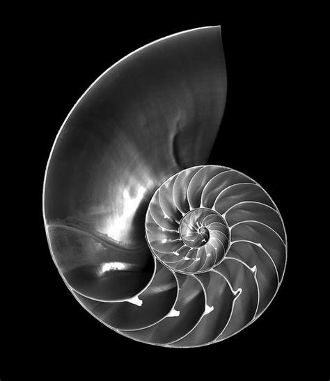 nautilus pattern nature nautilus shell patterns in nature fibonacci numbers