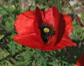 pictures of poppy flowers beautiful flowers
