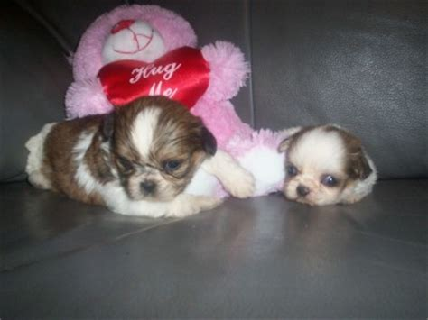shih tzu mix puppies for sale in ohio pin shih tzu poo mix puppies for sale 8 weeks 20000 each in mexico on