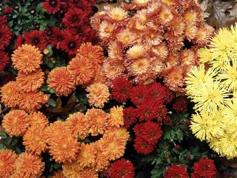 hardy mums wallpaper flowers nature wallpaper collection