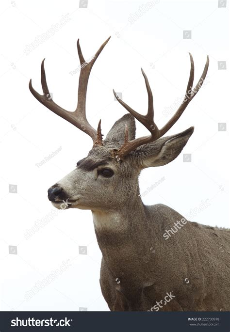 buck stag mule deer buck stag isolated on white sky background deer