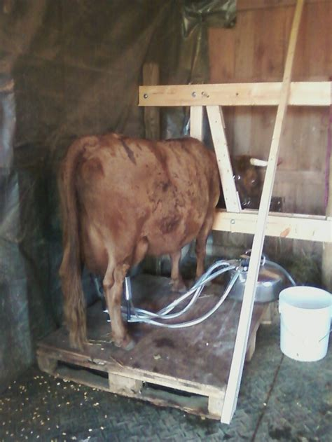 we built our first cow milking stanchion farm homemade milk stanchion for dexter cow cows on the