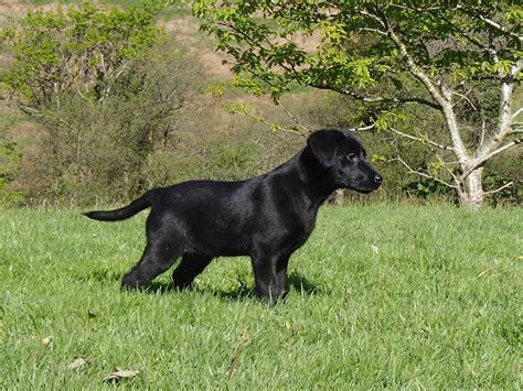 12 week lab puppy 14 week black labrador for sale swansea swansea pets4homes