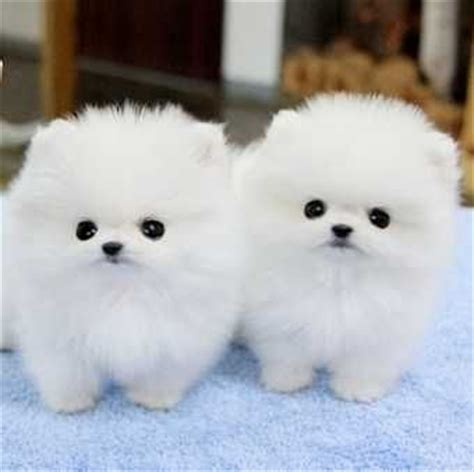 pomeranian puppies for sale in chennai pomeranian puppies for adoptionvv dogs for sale in cathedral road chennai click in
