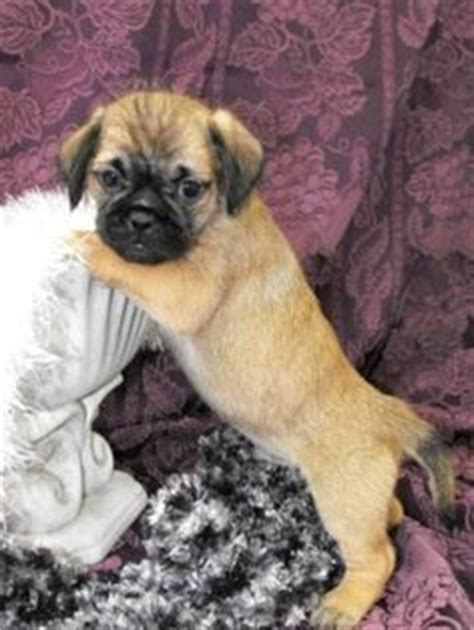 shih tzu pug puppies pug and shih tzu pug zu pug mixed breeds pug zu and animal