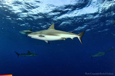 black tip shark carcharhinus limbatus belize shark project