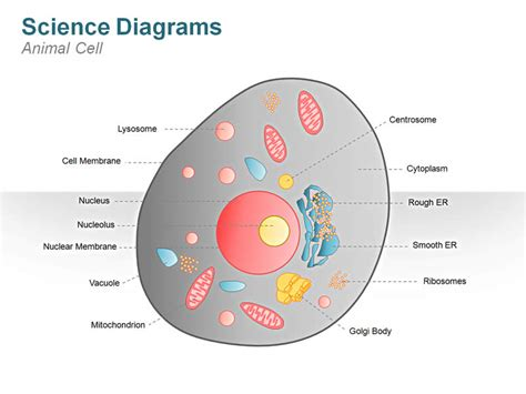printable animal cell labels animal cell diagrams labeled diagram site