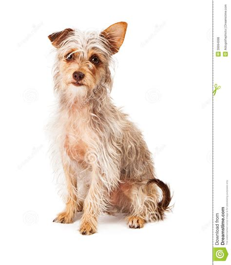 scruffy breeds adorable terrier crossbreed stock photo image 39994998