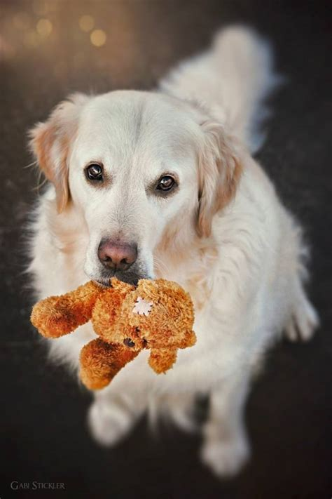 golden retriever teddy golden retriever mali and his teddy photography by gabi stickler ego alterego