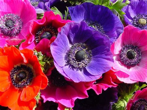 anemone dictionary 17 best ideas about anemone flower pictures on pinterest