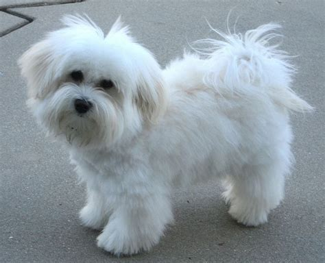 havanese cuts 25 best ideas about havanese grooming on havanese puppies cockapoo