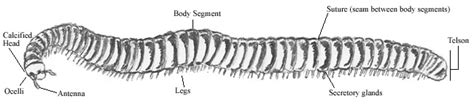 labelled diagram of a millipede millipedes of petroglyph petroglyph national monument u