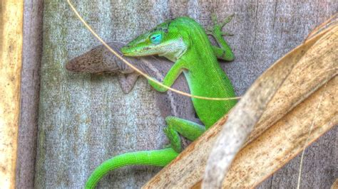 color changing lizard green anole lizards mating and change color