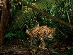 Jaguar Park Yasun 237 National Park Photo Gallery Pictures More From