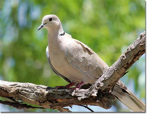 backyard bird eurasian collared dove