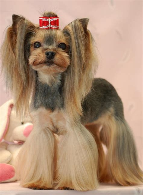 korean yorkie haircuts asian fusion yorkie cut japanese style yorkie dog grooming