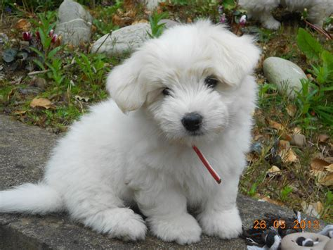 coton de tulear puppy coton de tulear puppies for sale swansea swansea pets4homes