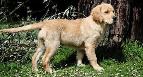 dumb golden retriever top 10 most beautiful breeds pethelpful