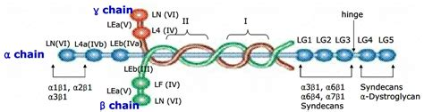 protein laminin recombinant laminins amsbio
