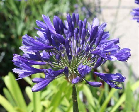 un fiore violetto agapanthus timaru vivai priola
