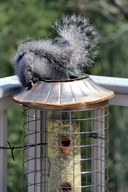 squirrel outwits bird feeder the story of leon and pearl