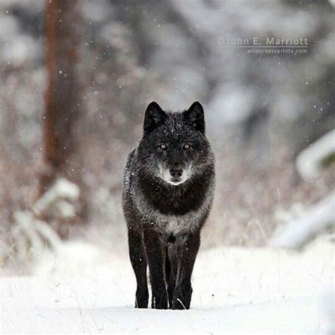 Black Wolf By John E Marriott Animal Photo Canids Black Wolf American